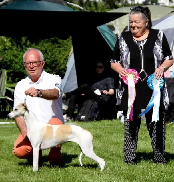 Showline Scanorama BPIS The Norwegian Whippet Specialty June 2016